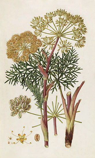 """John Sibthorp - Thapsia garganica by Ferdinand Bauer from drawings made for """"Flora Graeca"""""""