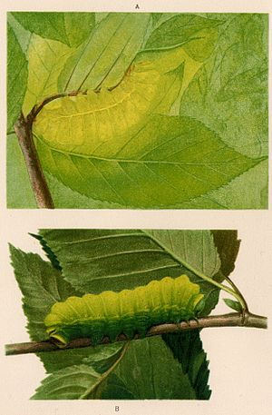 Countershading - Illustration from the artist Abbot Thayer's  1909 book on camouflage of a luna caterpillar Actias luna a) in position b) inverted.