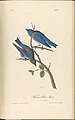 The Birds of America from Drawings Made in the United States MET DP245255.jpg