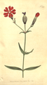 The Botanical Magazine, Plate 382 (Volume 11, 1797).png