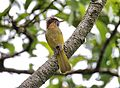 The Mountain Bulbul.jpg