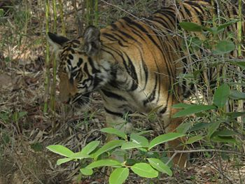 The Tiger- The Majestic Animal.jpg