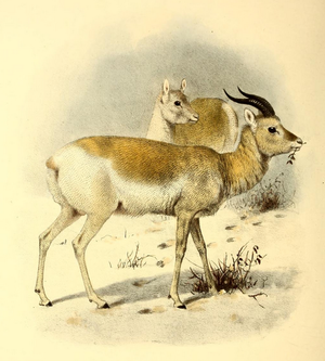 Mongolian gazelle - Image: The book of antelopes (1894) Gazella gutturosa