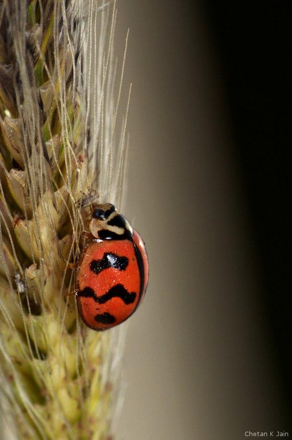 Ladybirds Invade Limpsfield: Howling Pixel