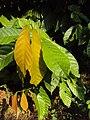 Theobroma cacao 06.JPG