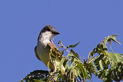 Thick-billed Kingbird (nesting pair) - Portal - AZ - 2015-08-03at09-17-535 (20559819169).jpg