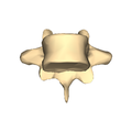 Thoracic vertebra 9 close-up anterior surface.png