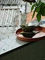 Thraupis palmarum -Brazil -bathing-6a (1).jpg
