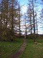 Through the larches to Neaum Crag - geograph.org.uk - 743836.jpg