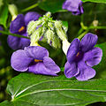 Thunbergia natalensis-IMG 9431.jpg