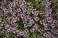 Thymus pulegioides L. (7786866534).jpg