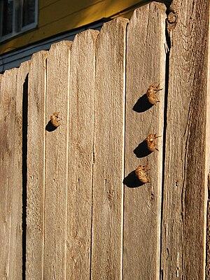 Neotibicen - Image: Tibicen husks on fence 01