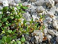 Tillaea aquatica sl4.jpg