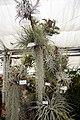 Tillandsia - Internationale Orchideen- und Tillandsienschau Blumengärten Hirschstetten 2016 c.jpg