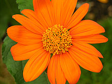 Tithonia rotundifolia 'Fiesta Del Sol' Flower Closeup 1600px.jpg
