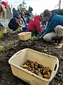 Tlingit potato community garden - Tongass National Forest.jpg