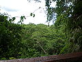 Top of Falealupo rainforest.JPG