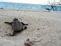 Bébé tortue de mer après l'éclosion.