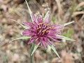 Tragopogon porrifolius Blüte.jpg