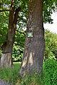 Traisen - Naturdenkmal LF-080 - Eichenbaumgruppe - 3.jpg