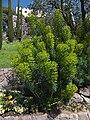 Trauttmansdorff gardens - Euphorbia characias 01.jpg