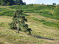 Tree-on-Field-near-Milngavie-1.JPG