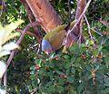 Treron calvus glaucus, in vyeboom, b, Pretoria.jpg