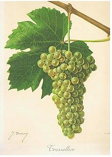 Sacy (grape)