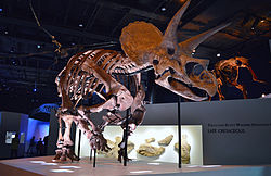 Triceratops Specimen at the Houston Museum of Natural Science.JPG