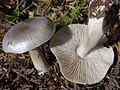 Tricholoma virgatum a1 (9).JPG