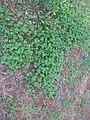 Trifolium subterraneum habit4 ST - Flickr - Macleay Grass Man.jpg