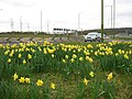 Tring Bypass (A41) - Daffodils by the Roundabout - geograph.org.uk - 1202568.jpg