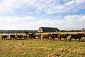 Troupeau de vaches passant devant le hangar à dirigeables d'Écausseville, France.jpg