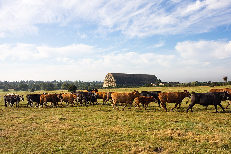 English:  A herd of heifers walks across a field before the airships hangar in Écausseville (Manche, France).