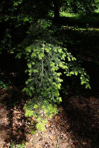 Tsuga caroliniana - Foliage, Rogów Arboretum, Poland