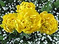 Tulpen, gefüllt - panoramio.jpg