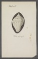 Turbinella spec. - - Print - Iconographia Zoologica - Special Collections University of Amsterdam - UBAINV0274 084 04 0032.tif
