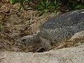 Turtle preparing to lay 6481.JPG