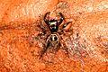 Twin-flagged Jumping Spider - Anasaitis canosa, Lake Lotus Park, Altamonte Springs, Florida.jpg