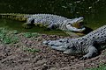 Two crocs basking.jpg