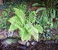 Two interesting ferns - Flickr - brewbooks.jpg