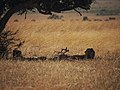 Two out of the only 3 cheetahs in Mara (20357162444).jpg
