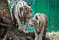 Two white Tigers near Tree.jpg