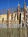 Typha sp. (cattails) (northwestern Jackson County, Ohio, USA) 5 (27132470088).jpg