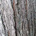 Ulmus laevis bark Ada Ciganlija.jpg