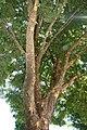 Ulmus parvifolia Allee 2zz.jpg