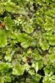 Ulrichstein Sieben Ahorn Gilgbach Tributary Marchantia polymorpha.png