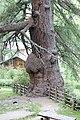 Ulten Urlärchen Baum 2 ( Nummerierung Lobis).jpg