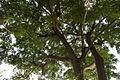 Under the shade of samanea saman.jpg