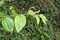 Unidentified Pingasa on the leaves of Ziziphus oenoplia - at Peravoor 2017 (3).jpg